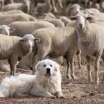 Diferencias entre ser ovejas, lobos o perros ovejeros frente a los problemas